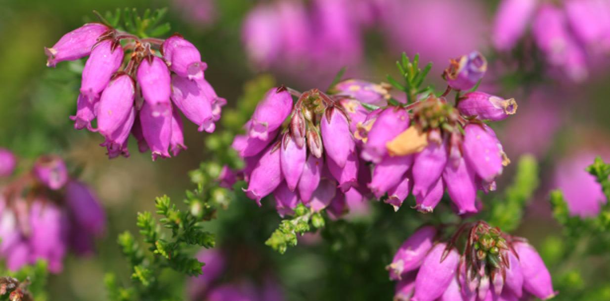 Atlas des plantes sauvages de l'Orne (61)