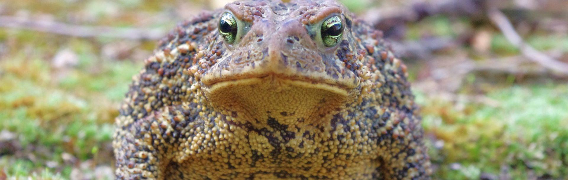 Les Amphibiens de Normandie