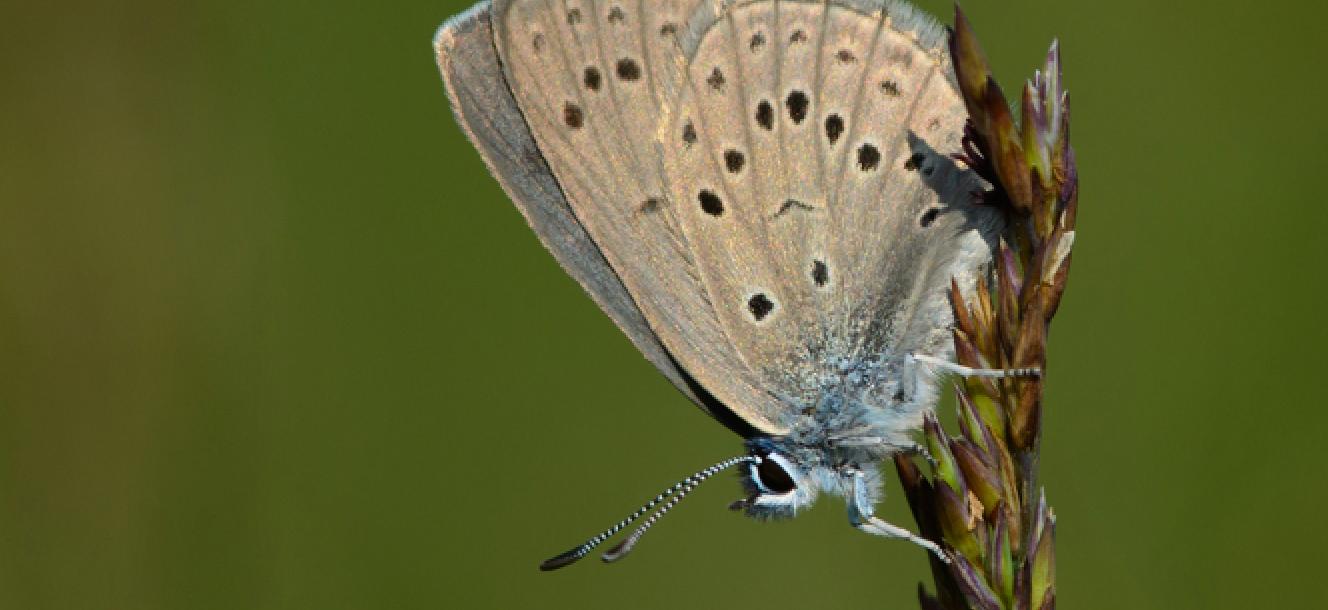 Suivi des populations de l'azuré des mouillères dans les landes de Lessay (50)