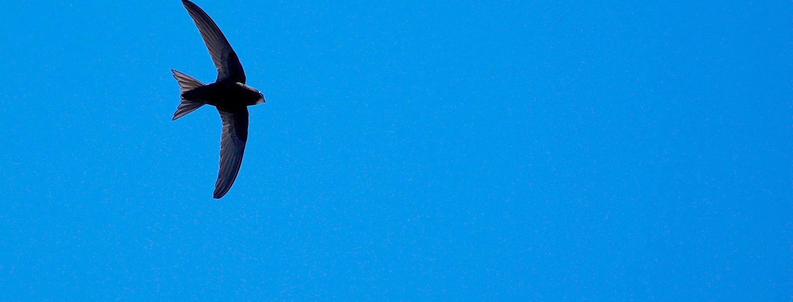 Un martinet noir sur ciel bleu